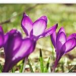 spring_crocuses-t2